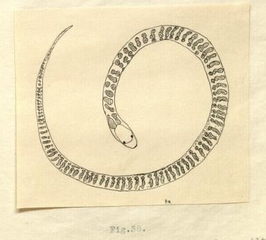 Bull snake drawing
