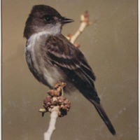 Cover photo of a Southwestern Willow Flycatcher (<em>Empidonax traillii extimus</em>) by Bob Steele