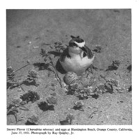 Snowy Plover (<em>Charadrius nivosus</em>) and eggs at Huntington Beach, Orange County, California, June 27, 1953. Photograph by Ray Quigley, Jr.