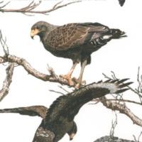 Cuban Black-Hawk (<em>Buteogzzllus anthracinus gundlachii</em>). Painting by Nils Navarro