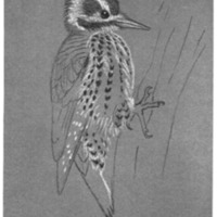 Arizona Woodpecker, <em>Dendrocopos Arizonae</em>