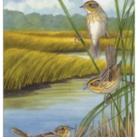 Cover painting (<em>Saltmarsh Sharp-tailed Sparrow</em>) and black-and-white drawings by Julie Zickefoose