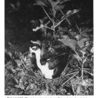 Black-necked Stilt (<em>Himatopus mexicanus</em>) on its nest.