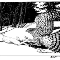 Cover drawing of Northern Goshawk and snowshoe hare by John Schmitt