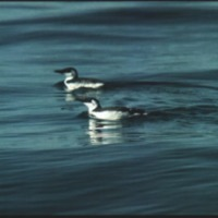 Adult (foreground) and first-winter Common Murres (<em>Urio aolge)</em>