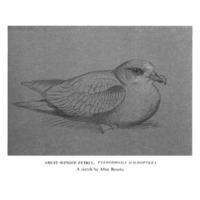 Great-Winged Petrel, <em>Pterodoma Macroptera</em>