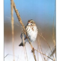 "Cover photograph of ""Ipswich"" Savannah Sparrow (<em>Passerculus sandwichensis princeps</em>) on beach grass"