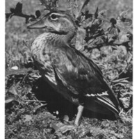 Immature Wood Duck, <em>Aix sponsa</em>, August 19, 1945, at Upper Thompson Lake, Lincoln County, Montata. Photograph by John L. Blackford