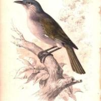 Descriptions of Several New Birds From Santo Domingo.