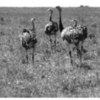 Cover photograph of Greater Rheas (Rhea americana) in the Pampas of Argentina by Juan Carlos Rehoreda.