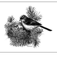 Cover drawing of female Mountain White-crowned Sparrow (<em>Zonotrichia leucophrys oriantha</em>) attending her nest.