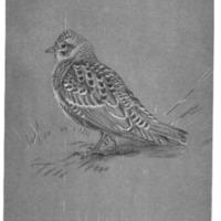 Juvenal Horned Lark, <em>Eremophila Alpestris Merrilli</em>