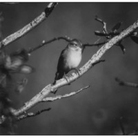 Field Sparrow, College Park, MD, January 1980. Photo by Luther Goldman.